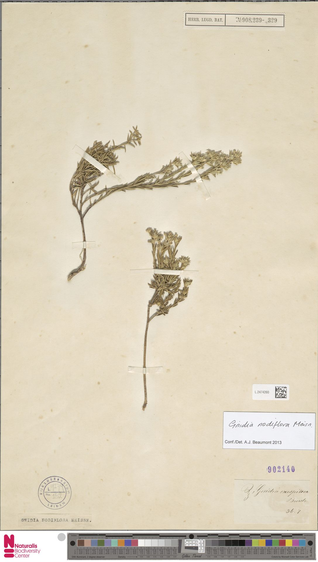 L.2474260 | Gnidia nodiflora Meisn.