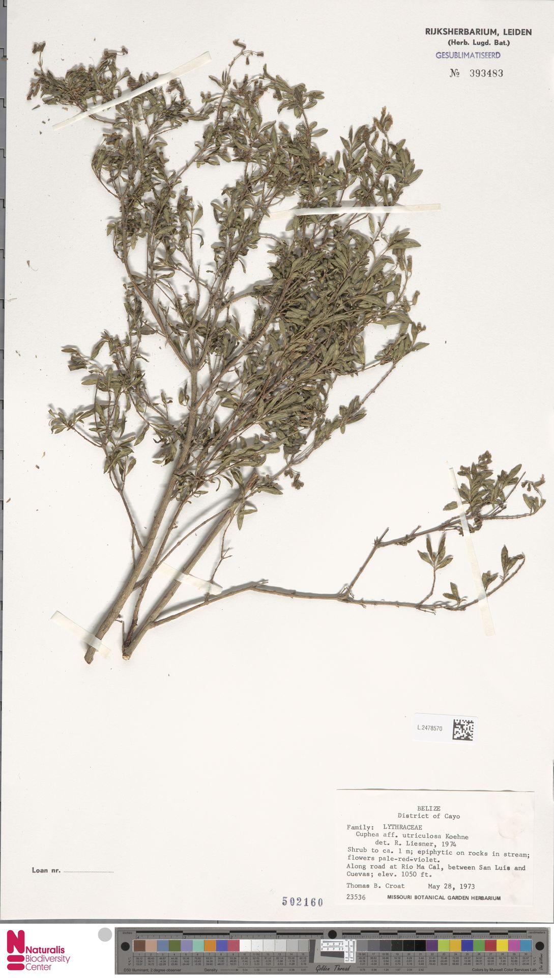 L.2478570 | Cuphea utriculosa Koehne