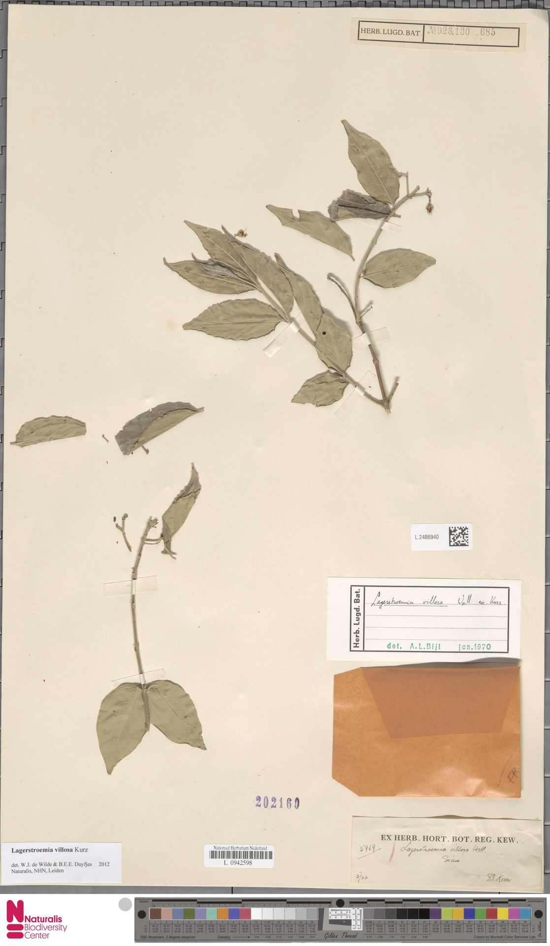 L.2486940 | Lagerstroemia villosa Wall. ex Kurz