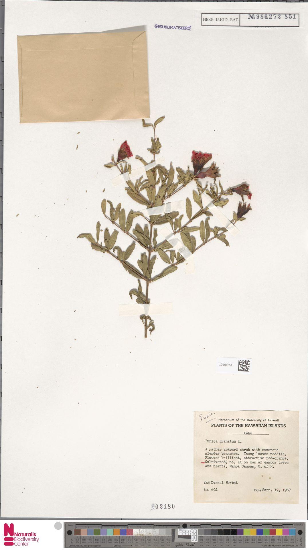 L.2491254   Punica granatum L.