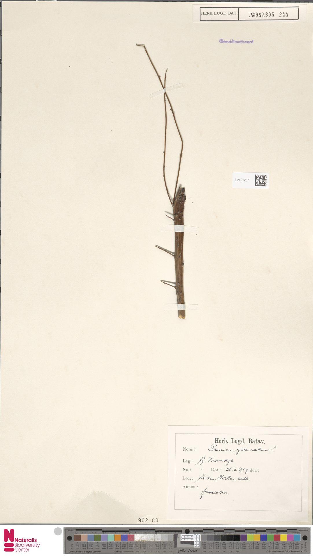 L.2491257   Punica granatum L.