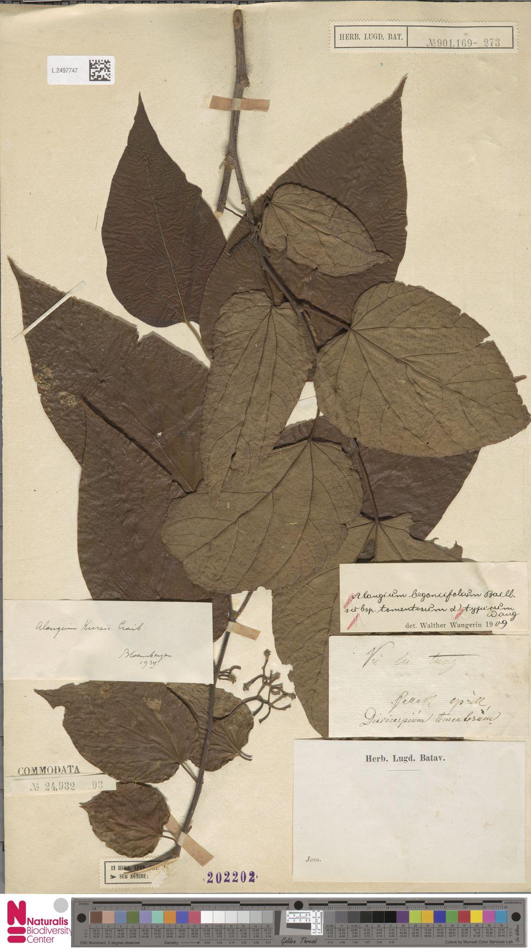 L.2497747 | Alangium rotundifolium (Hassk.) Bloemb.