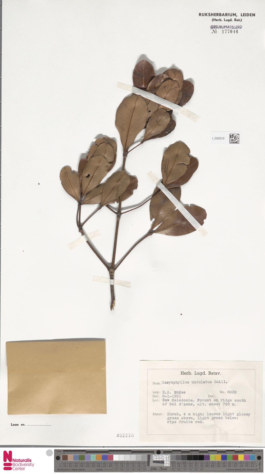 L.2502519 | Caryophyllus undulatus Guillaumin
