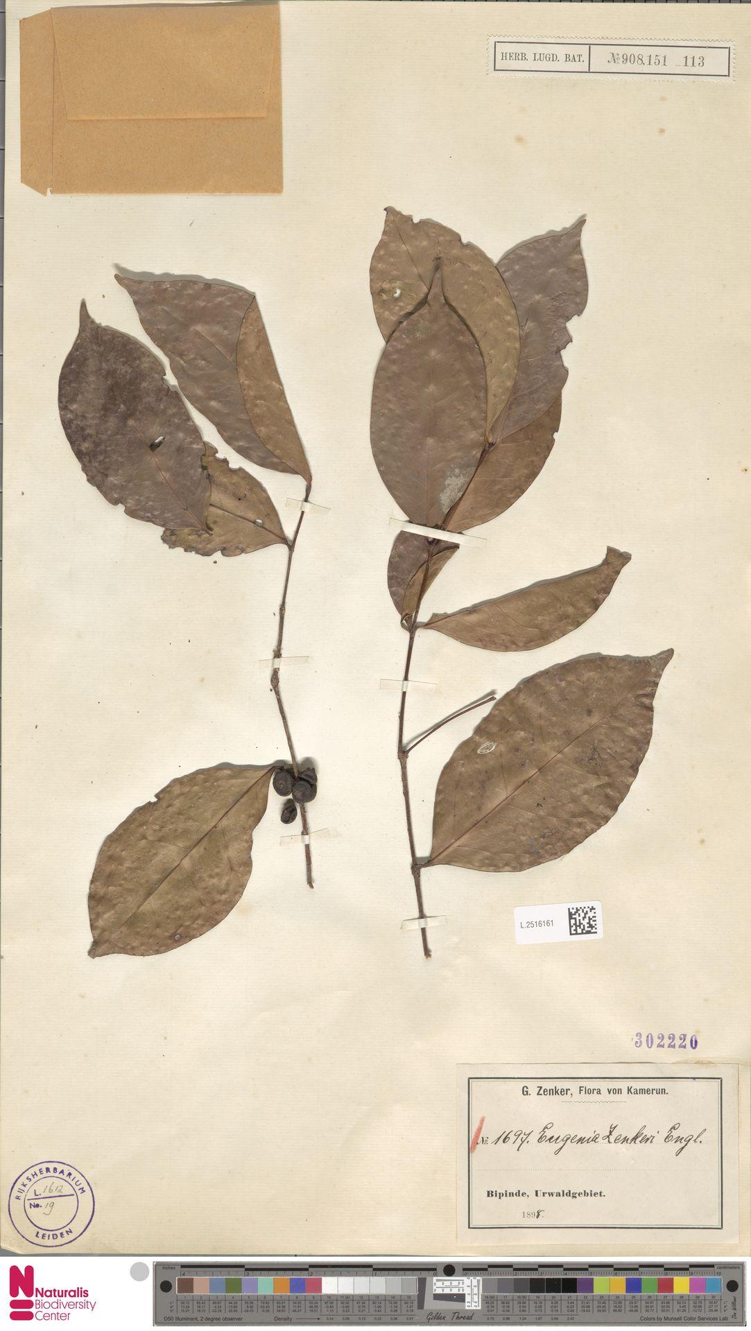 L.2516161 | Eugenia zenkeri Engl.
