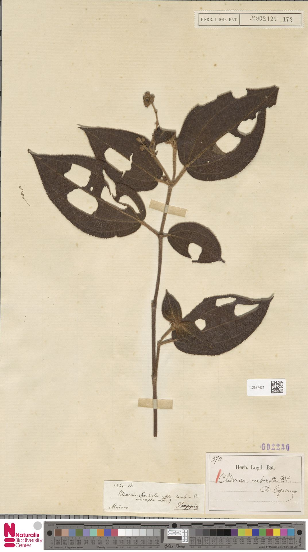 L.2537431 | Clidemia umbonata DC.