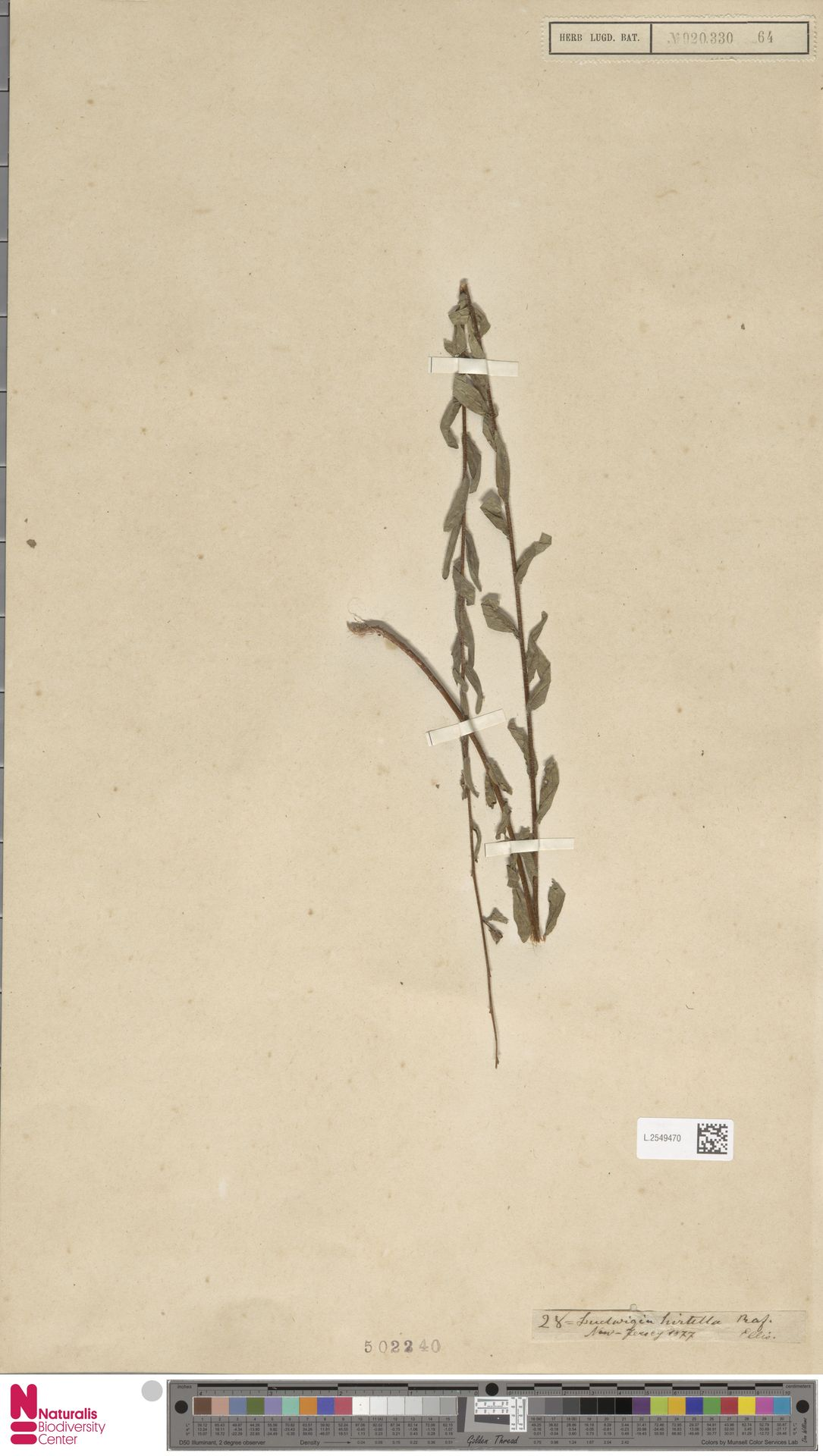 L.2549470 | Ludwigia hirtella Raf.