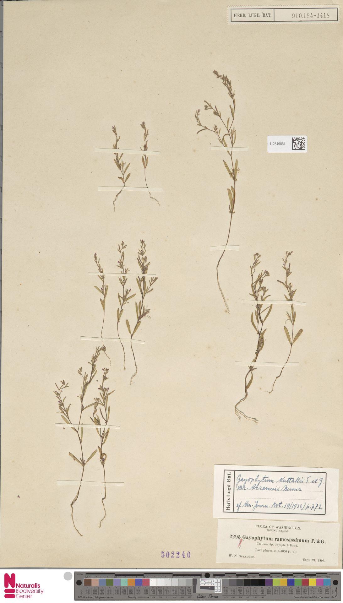 L.2549861 | Gayophytum nuttallii var. abramsii Munz