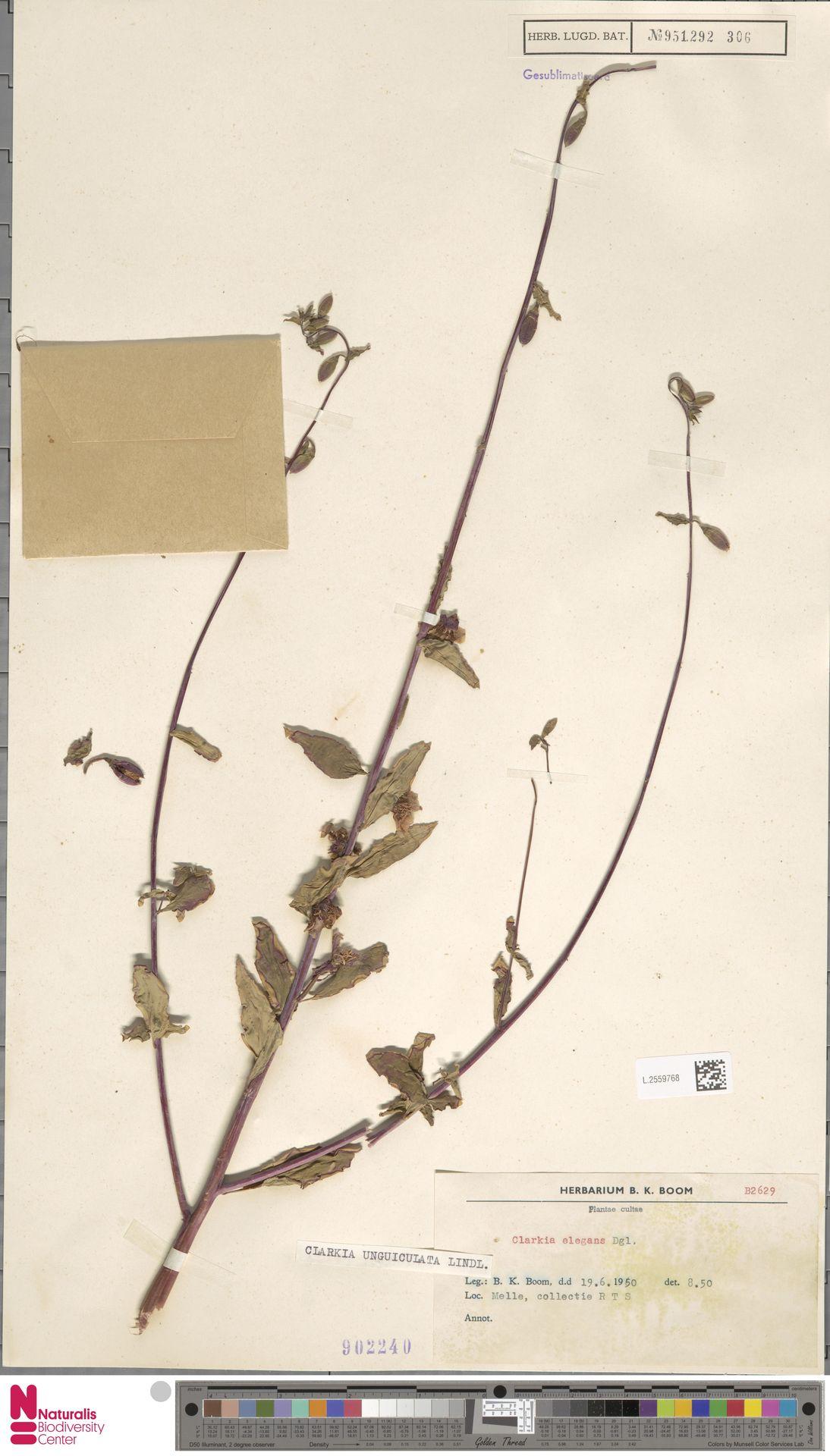 L.2559768 | Clarkia unguiculata Lindl.