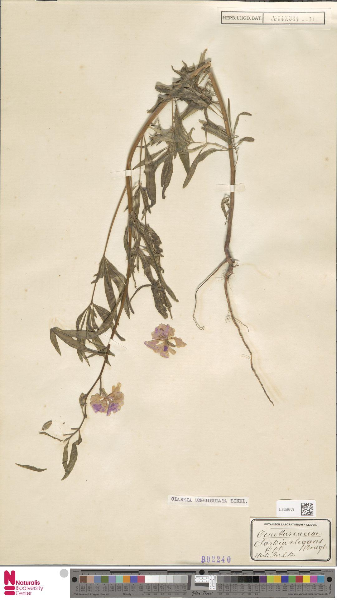 L.2559769 | Clarkia unguiculata Lindl.