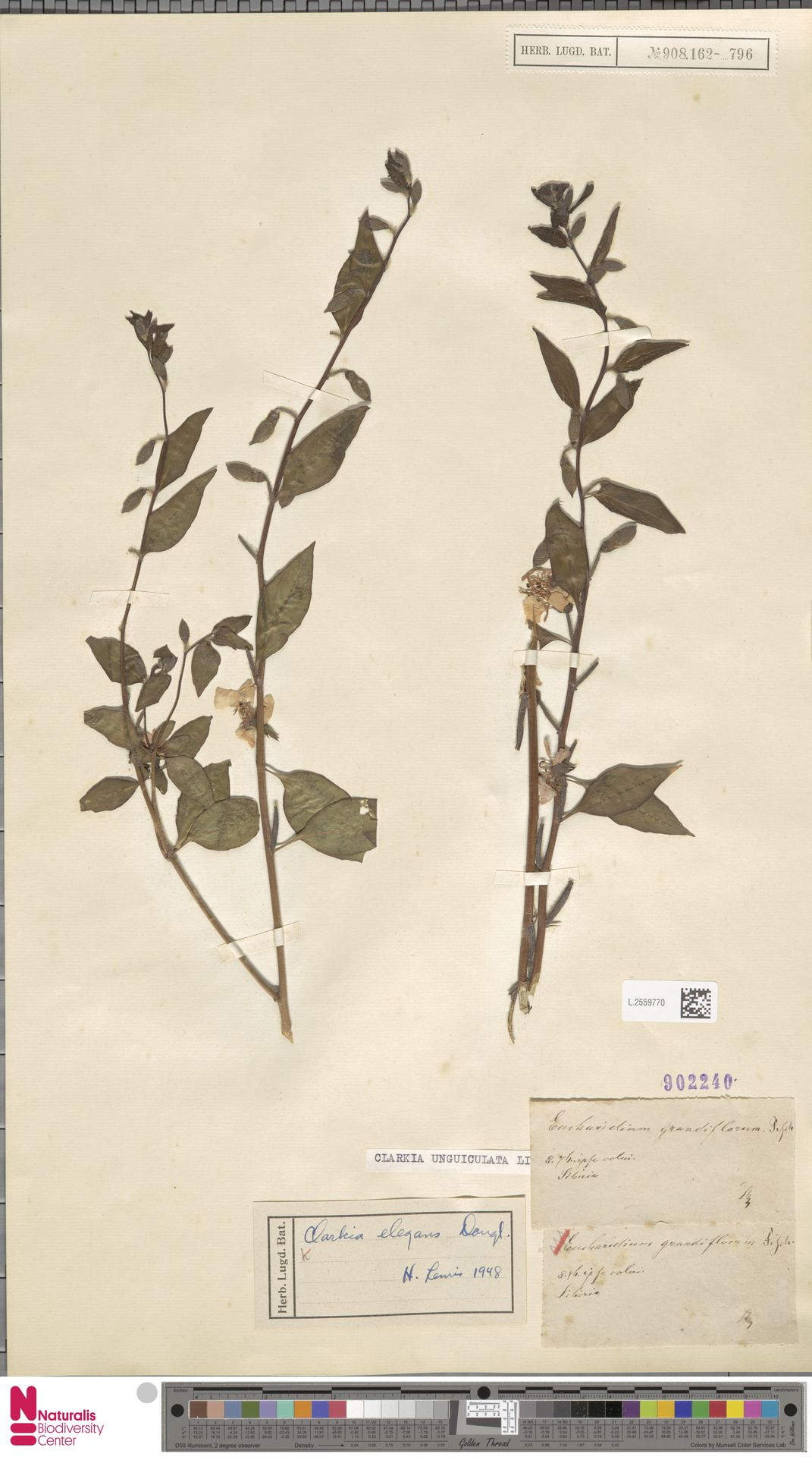 L.2559770 | Clarkia unguiculata Lindl.