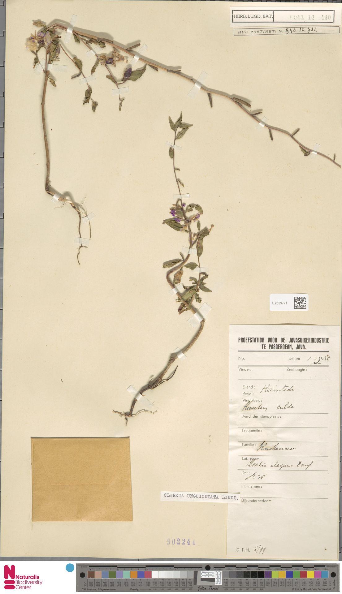L.2559771 | Clarkia unguiculata Lindl.