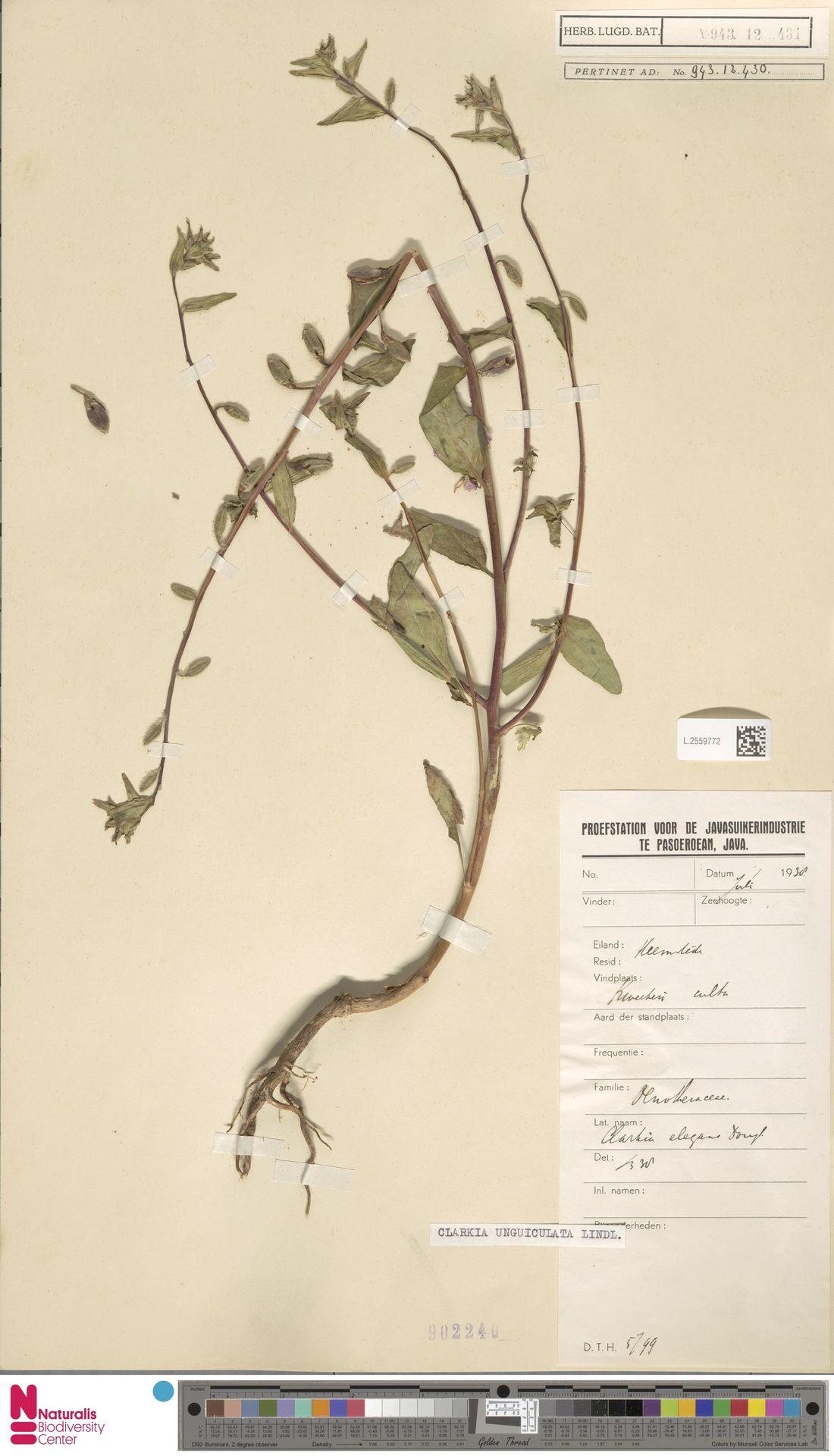 L.2559772 | Clarkia unguiculata Lindl.