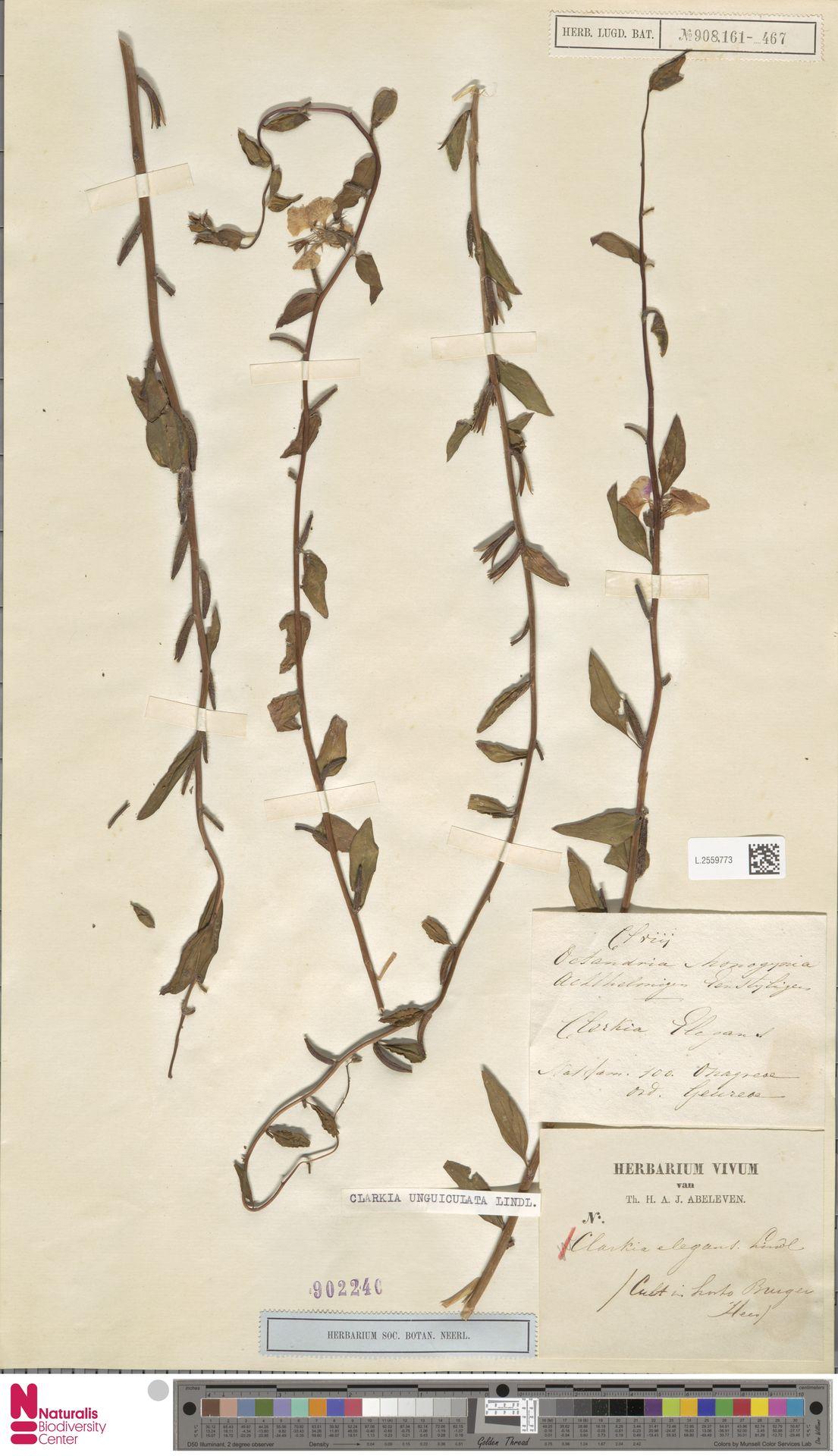 L.2559773 | Clarkia unguiculata Lindl.