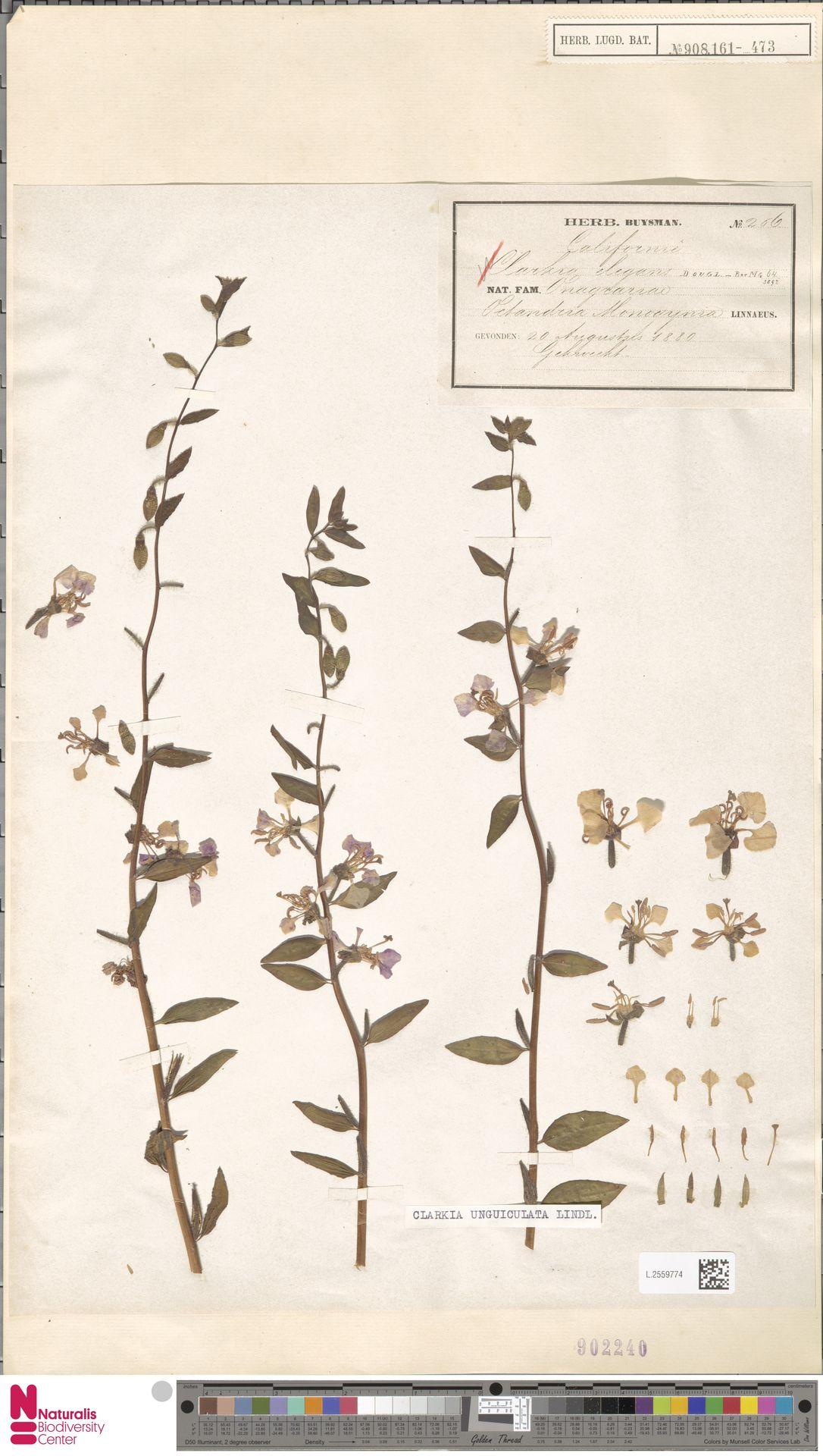 L.2559774 | Clarkia unguiculata Lindl.