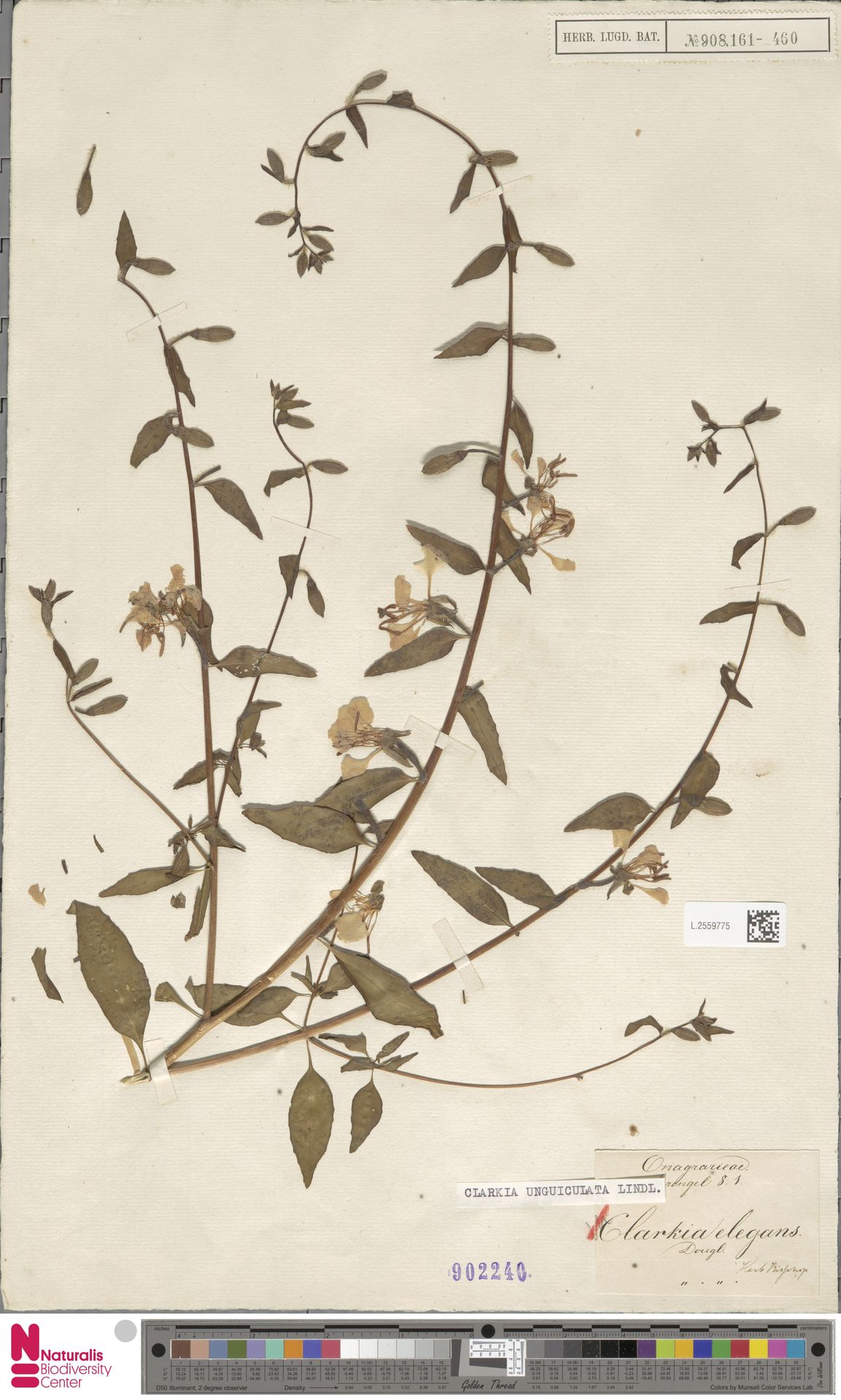 L.2559775 | Clarkia unguiculata Lindl.