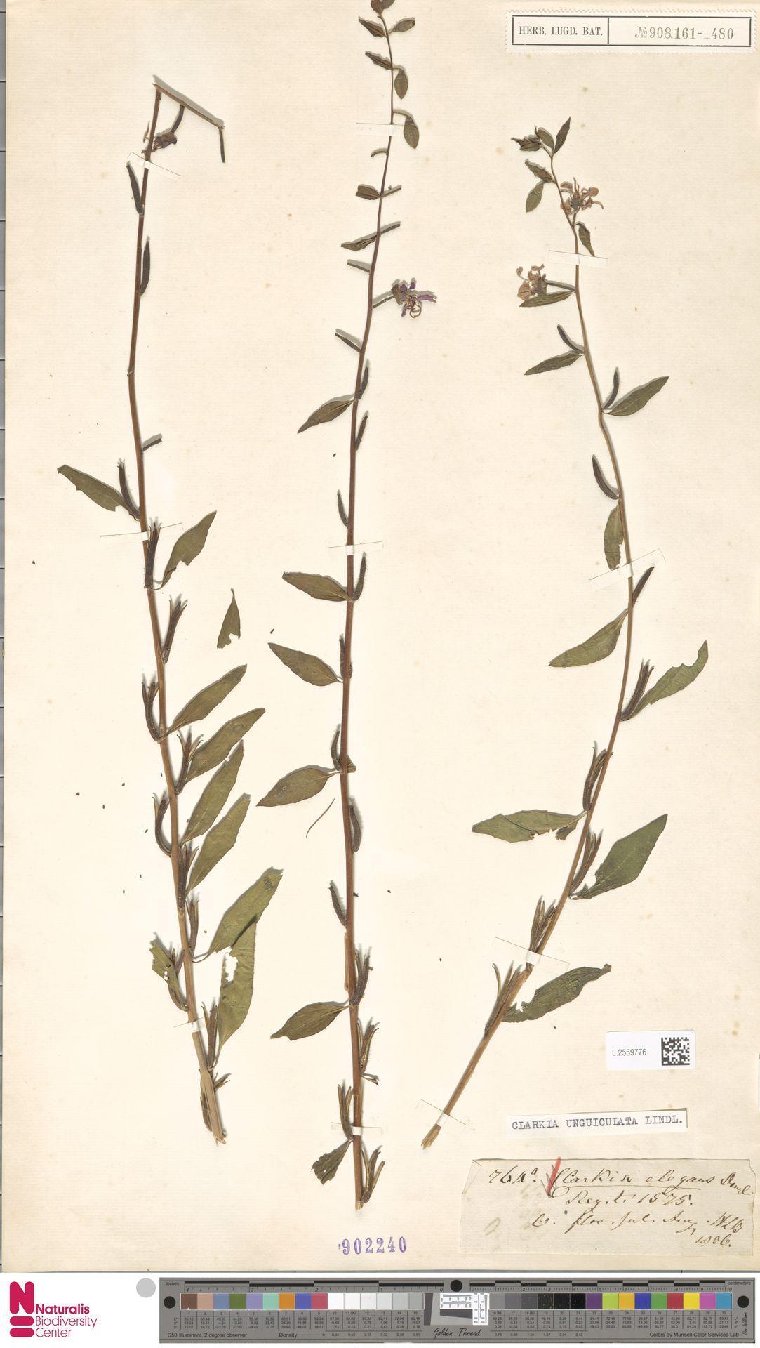 L.2559776 | Clarkia unguiculata Lindl.