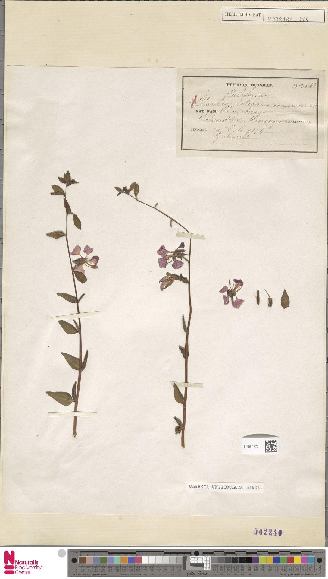 L.2559777 | Clarkia unguiculata Lindl.