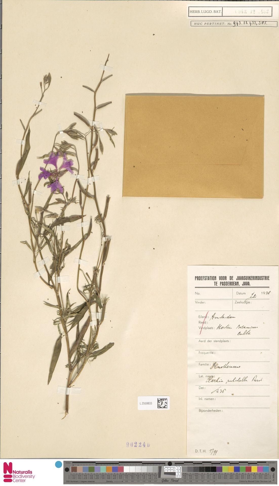 L.2559833 | Clarkia unguiculata Lindl.