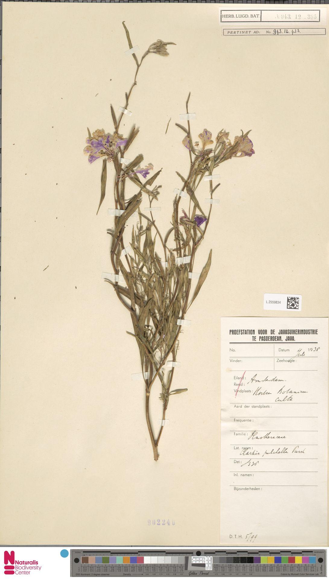 L.2559834 | Clarkia unguiculata Lindl.