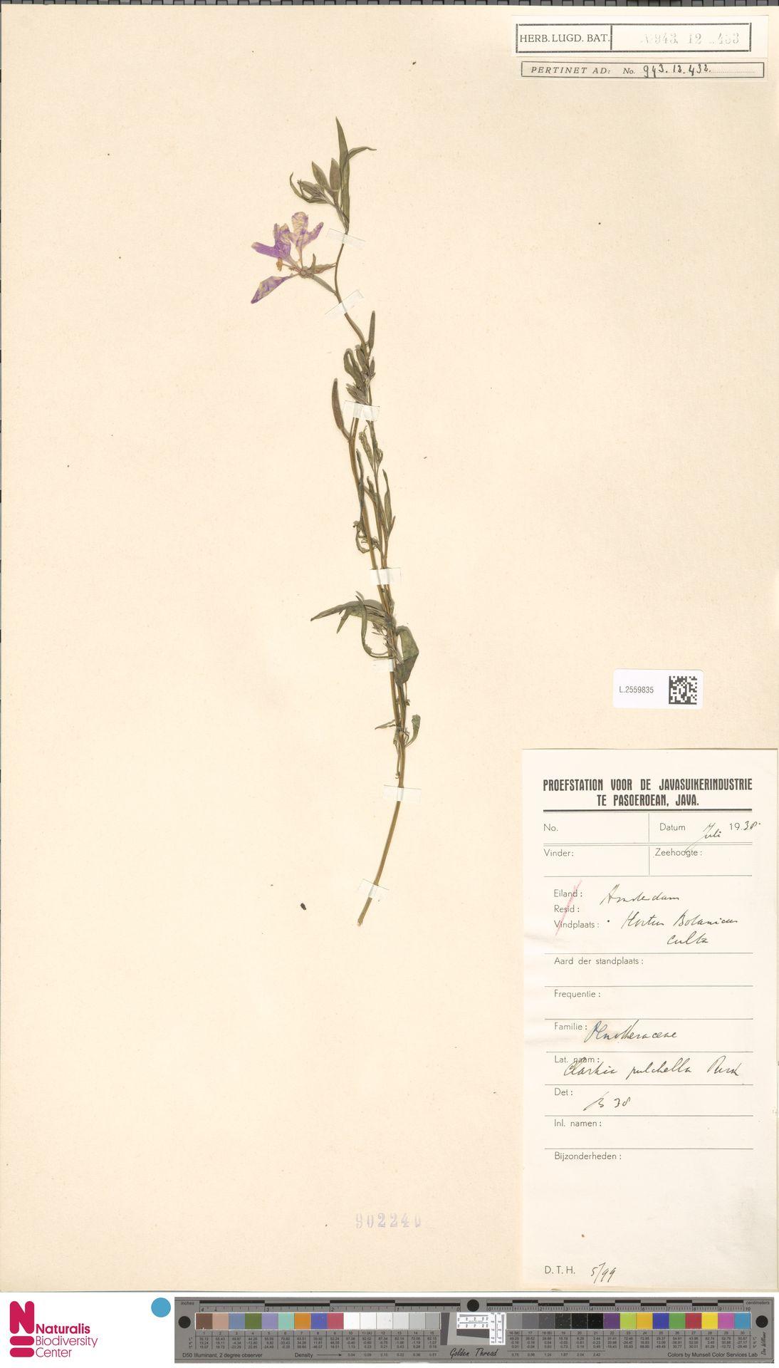 L.2559835 | Clarkia unguiculata Lindl.