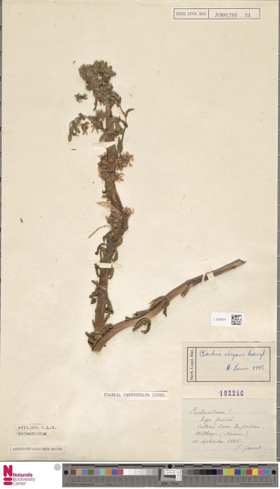 L.2559874 | Clarkia unguiculata Lindl.