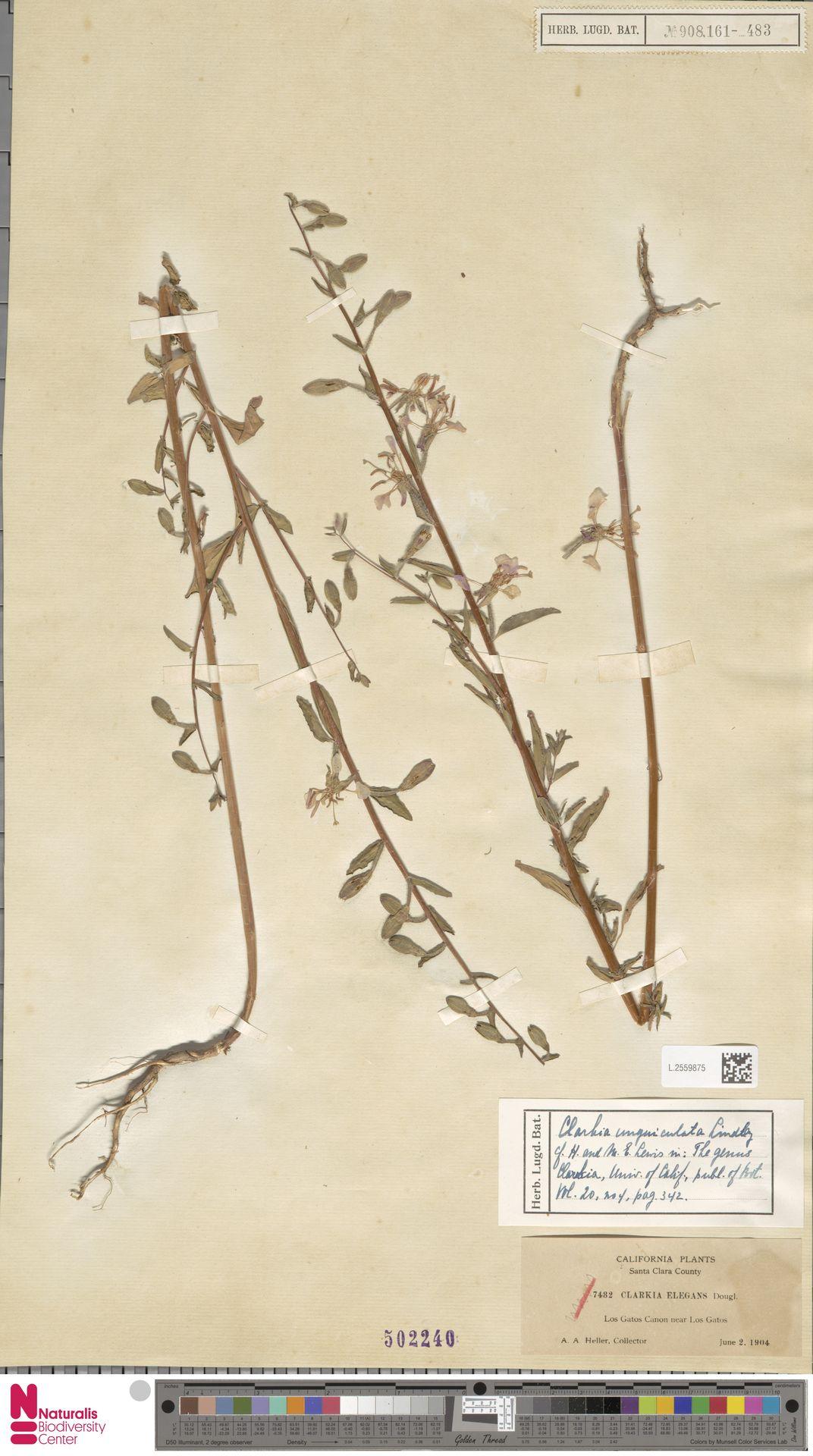 L.2559875 | Clarkia unguiculata Lindl.