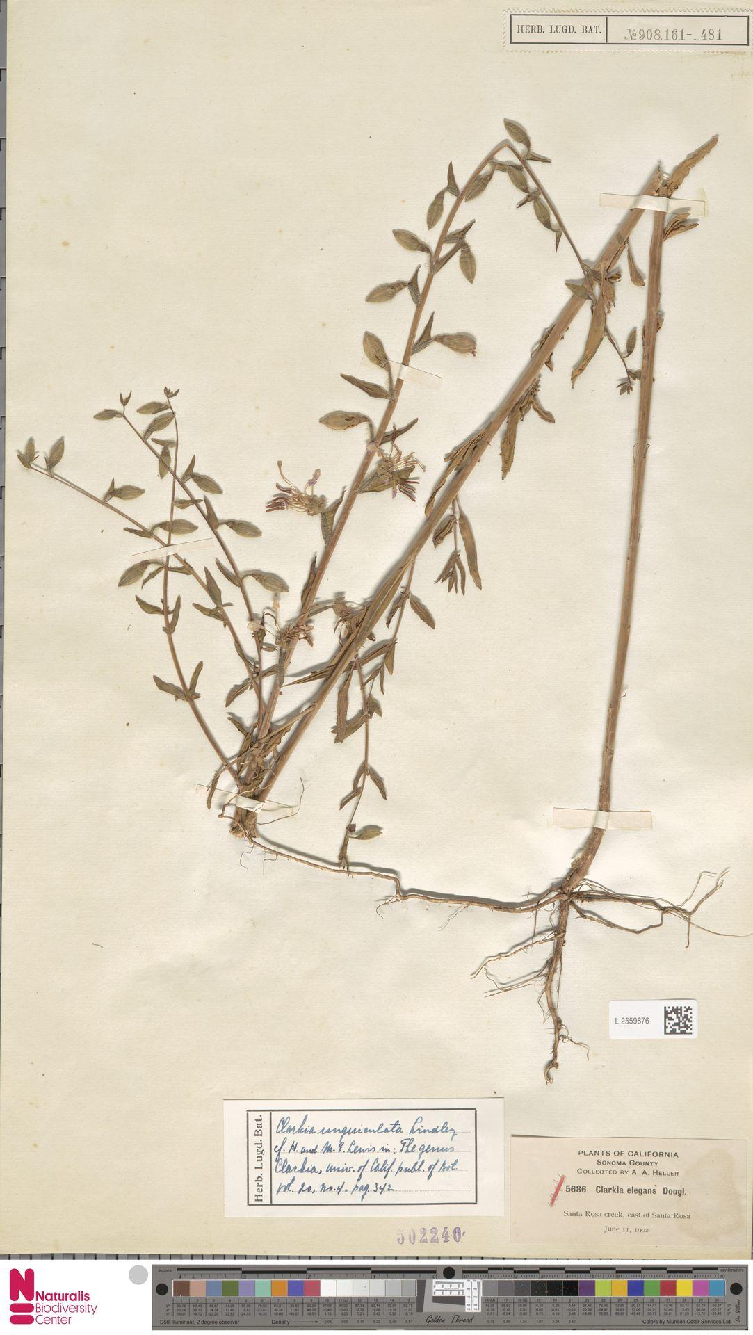 L.2559876 | Clarkia unguiculata Lindl.
