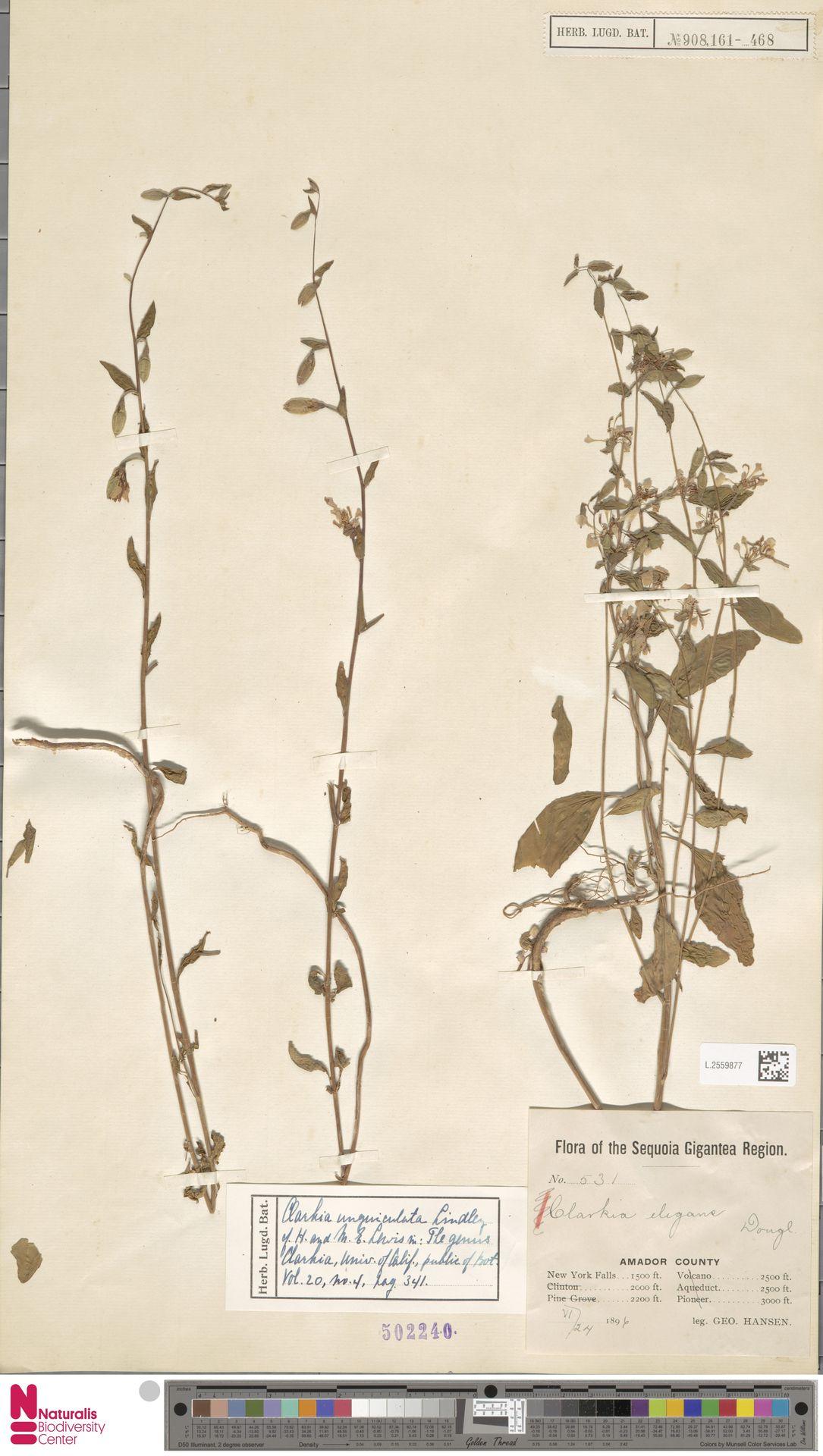 L.2559877 | Clarkia unguiculata Lindl.