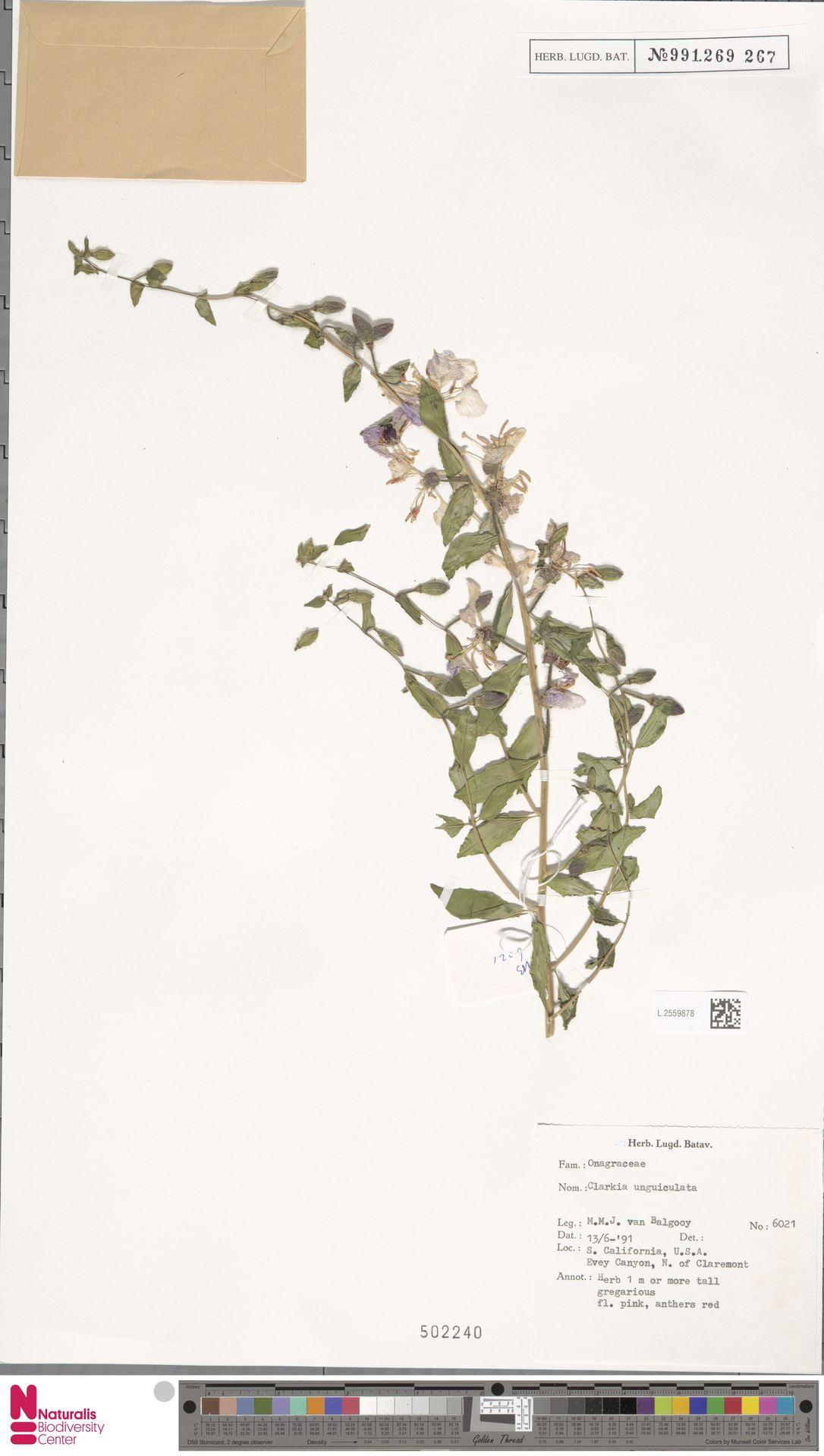 L.2559878 | Clarkia unguiculata Lindl.