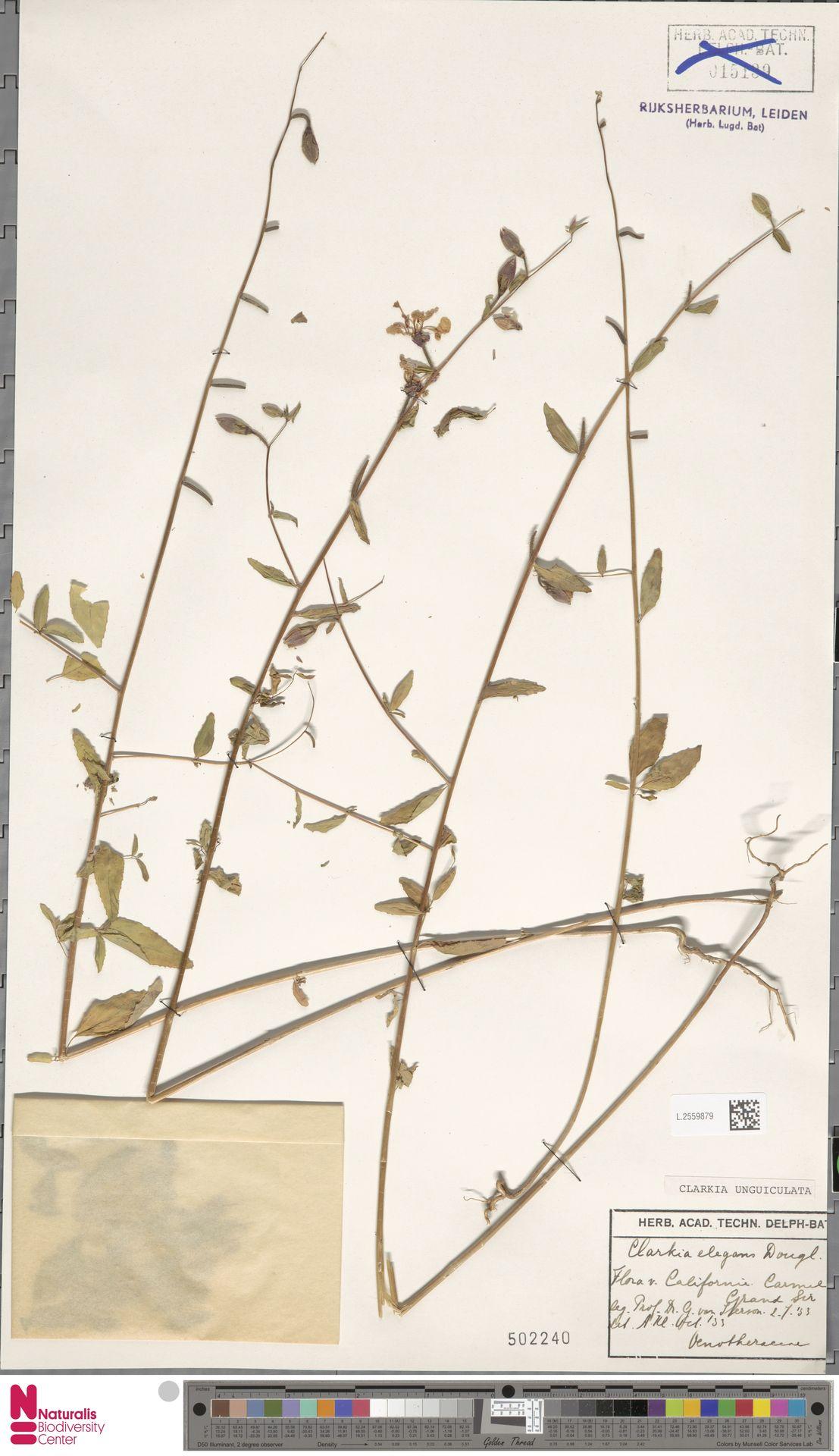 L.2559879 | Clarkia unguiculata Lindl.
