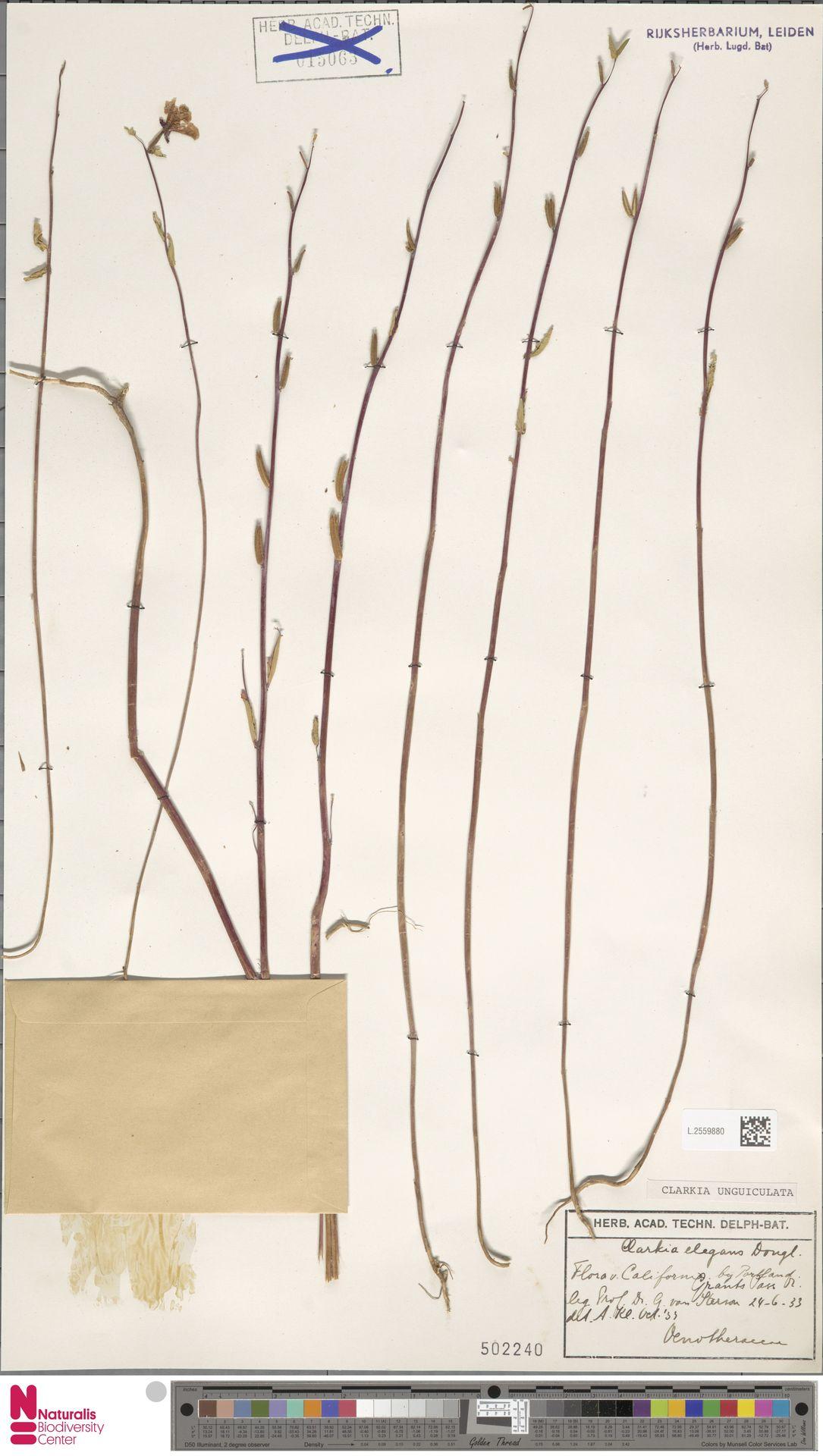 L.2559880 | Clarkia unguiculata Lindl.