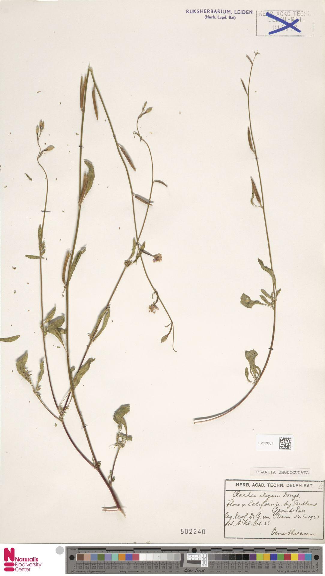 L.2559881 | Clarkia unguiculata Lindl.