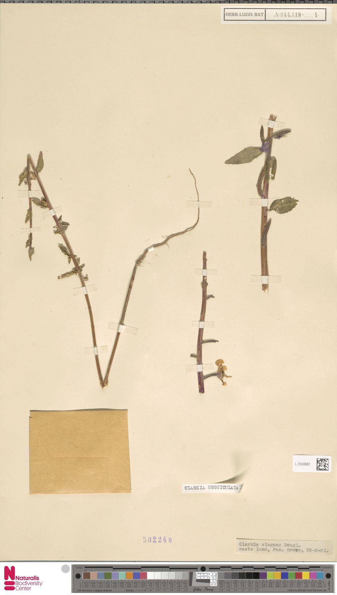 L.2559882 | Clarkia unguiculata Lindl.