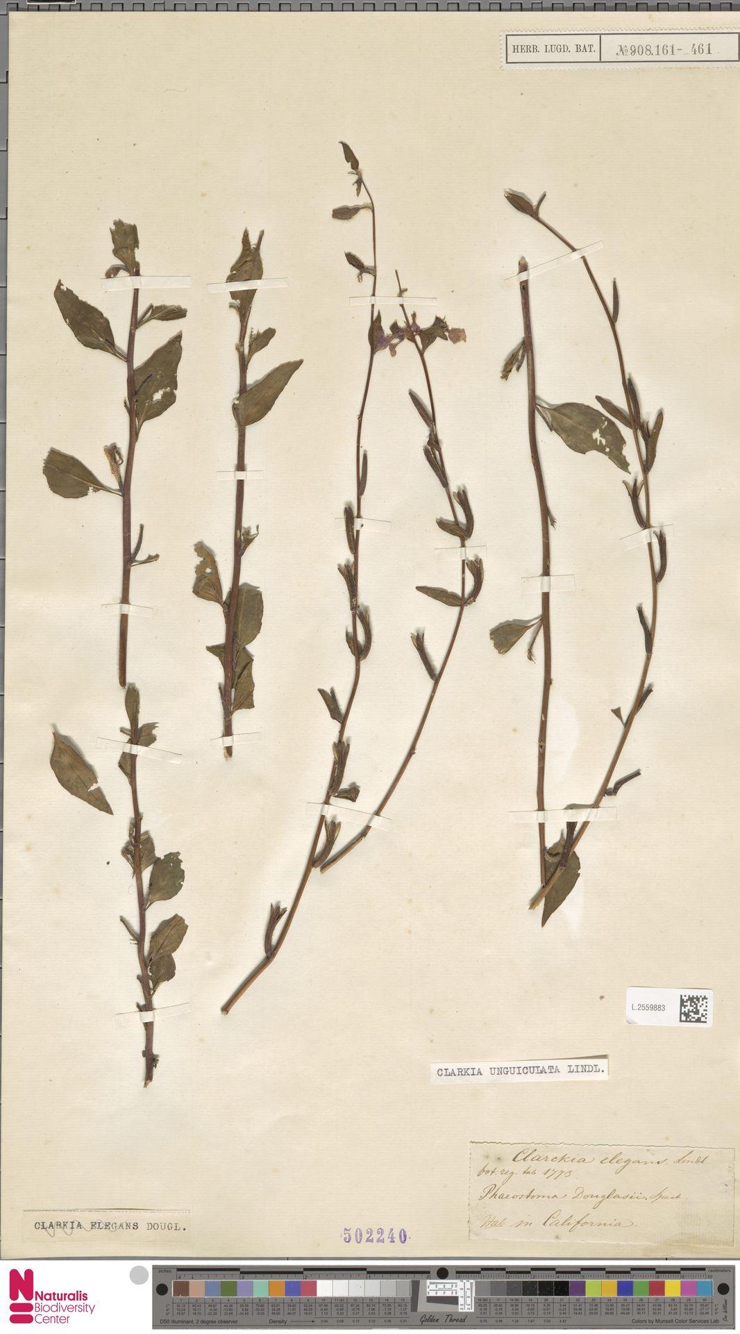 L.2559883 | Clarkia unguiculata Lindl.