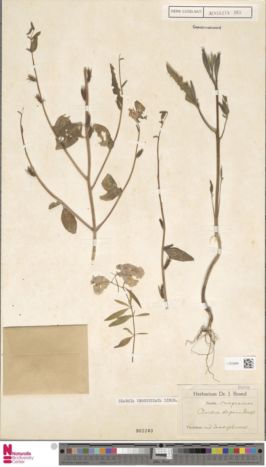 L.2559886 | Clarkia unguiculata Lindl.