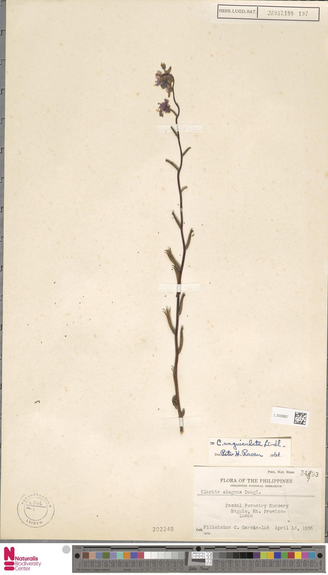 L.2559887 | Clarkia unguiculata Lindl.