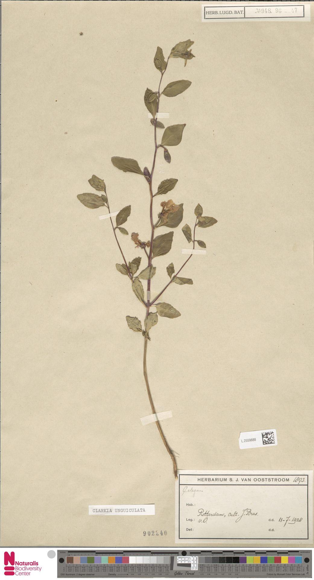 L.2559888 | Clarkia unguiculata Lindl.