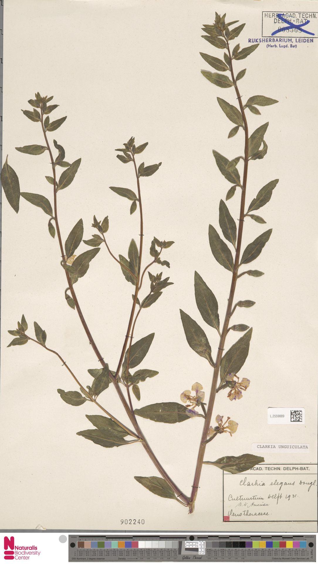 L.2559889 | Clarkia unguiculata Lindl.