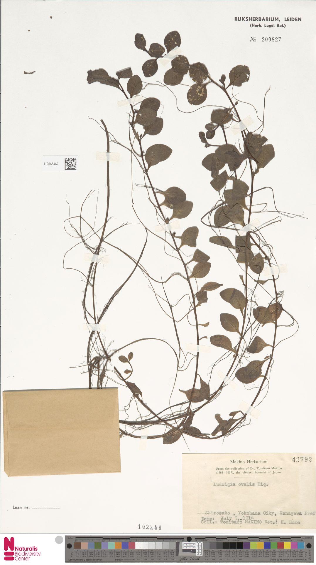 L.2565462 | Ludwigia ovalis Miq.