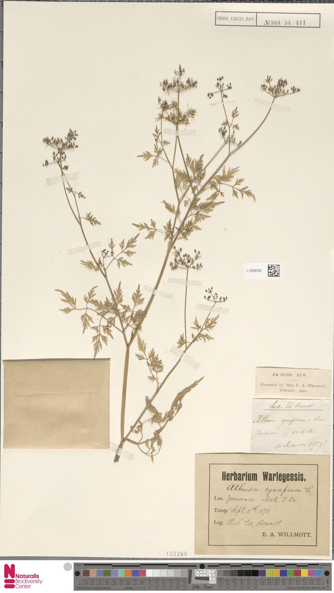 L.2569339 | Aethusa cynapium L.