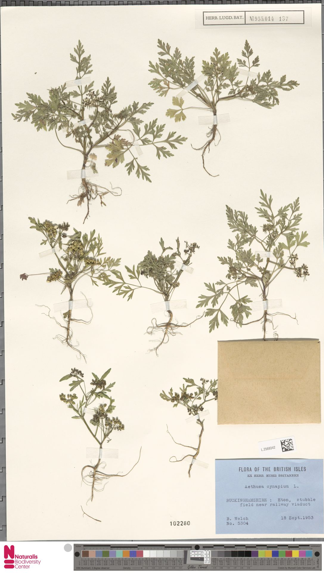 L.2569342 | Aethusa cynapium L.