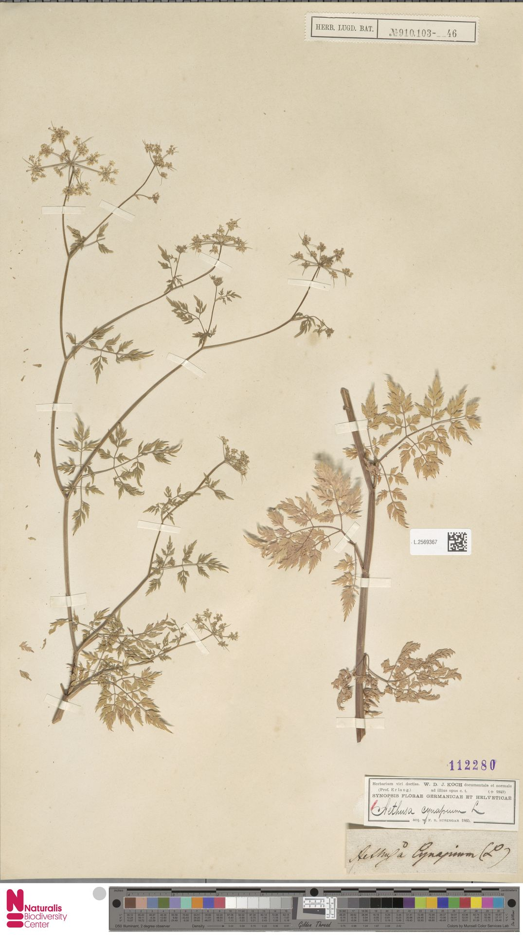 L.2569367 | Aethusa cynapium L.
