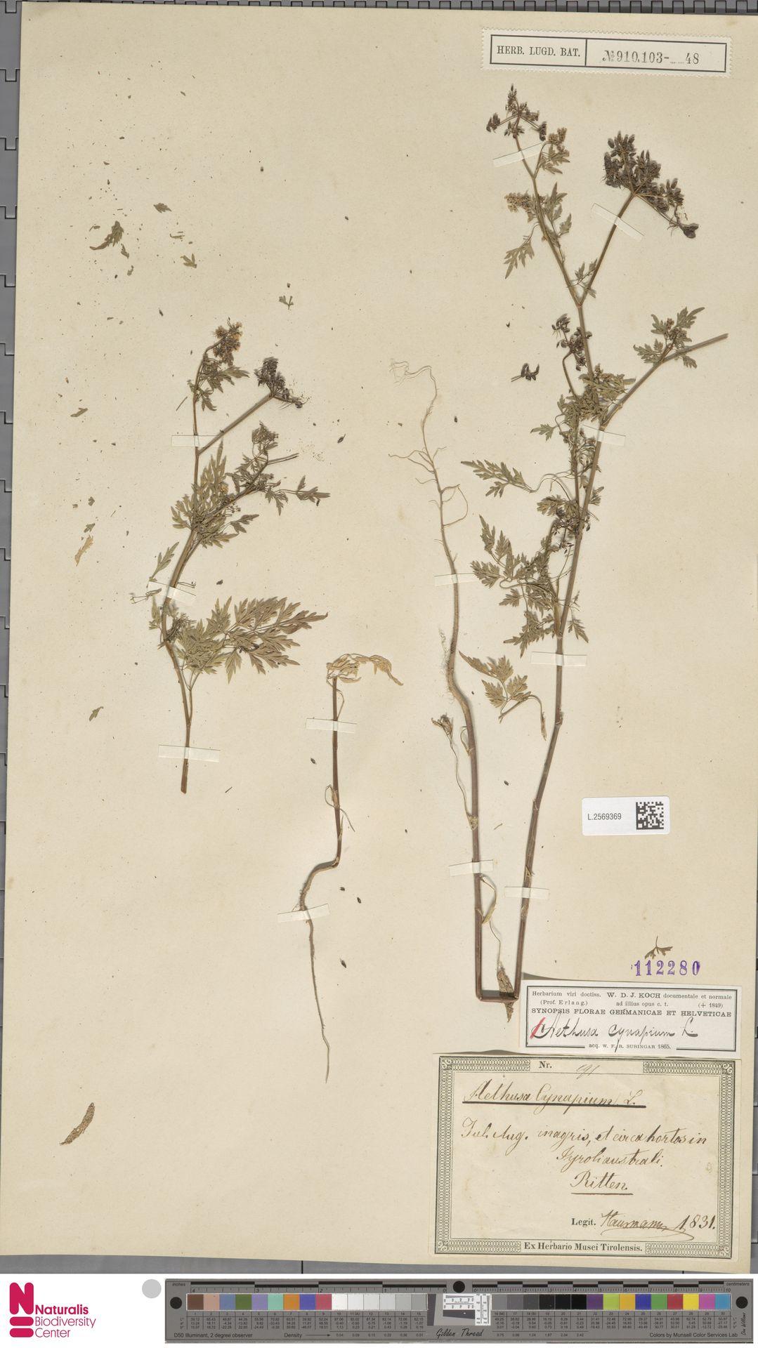 L.2569369 | Aethusa cynapium L.