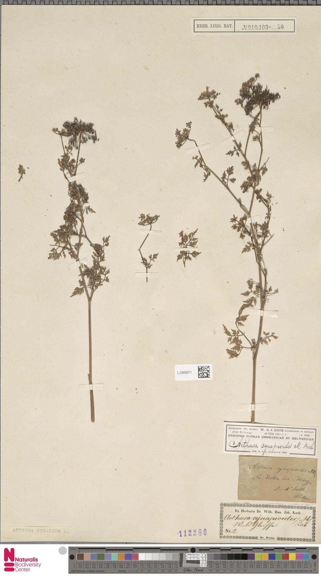 L.2569371 | Aethusa cynapium L.
