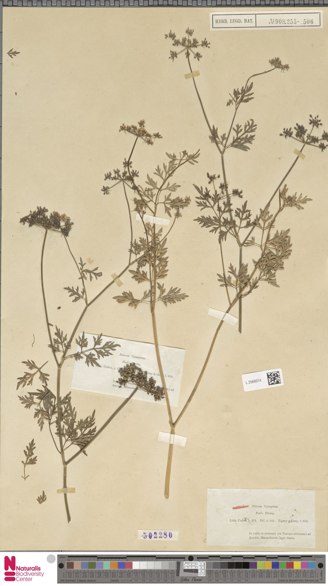 L.2569374 | Aethusa cynapium L.