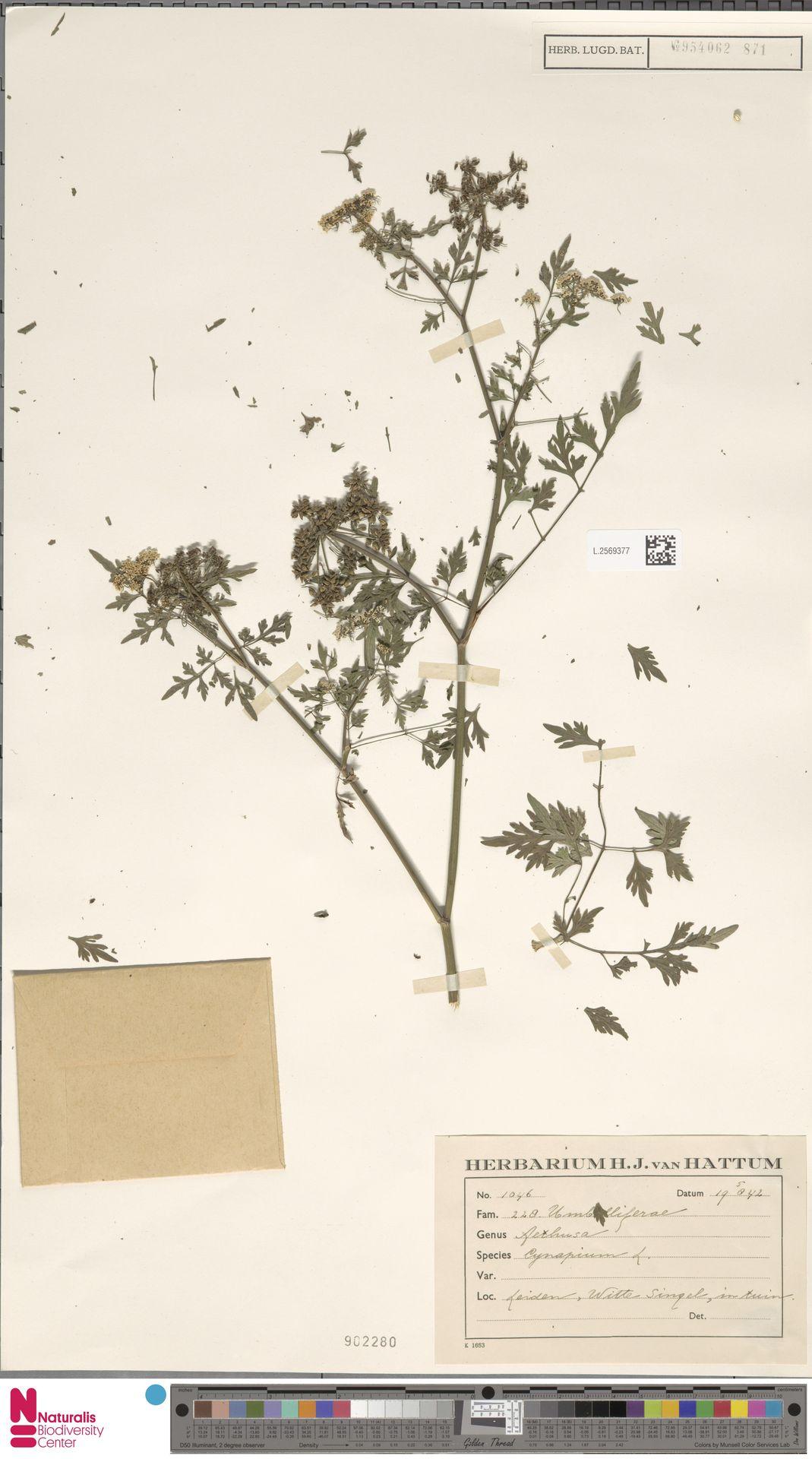 L.2569377 | Aethusa cynapium L.