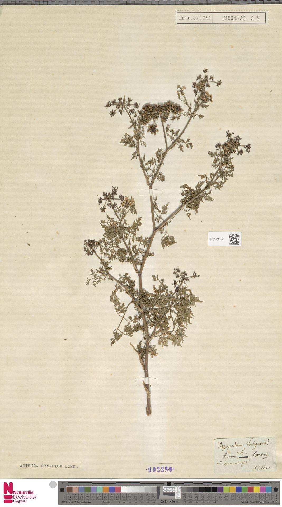 L.2569379   Aethusa cynapium L.