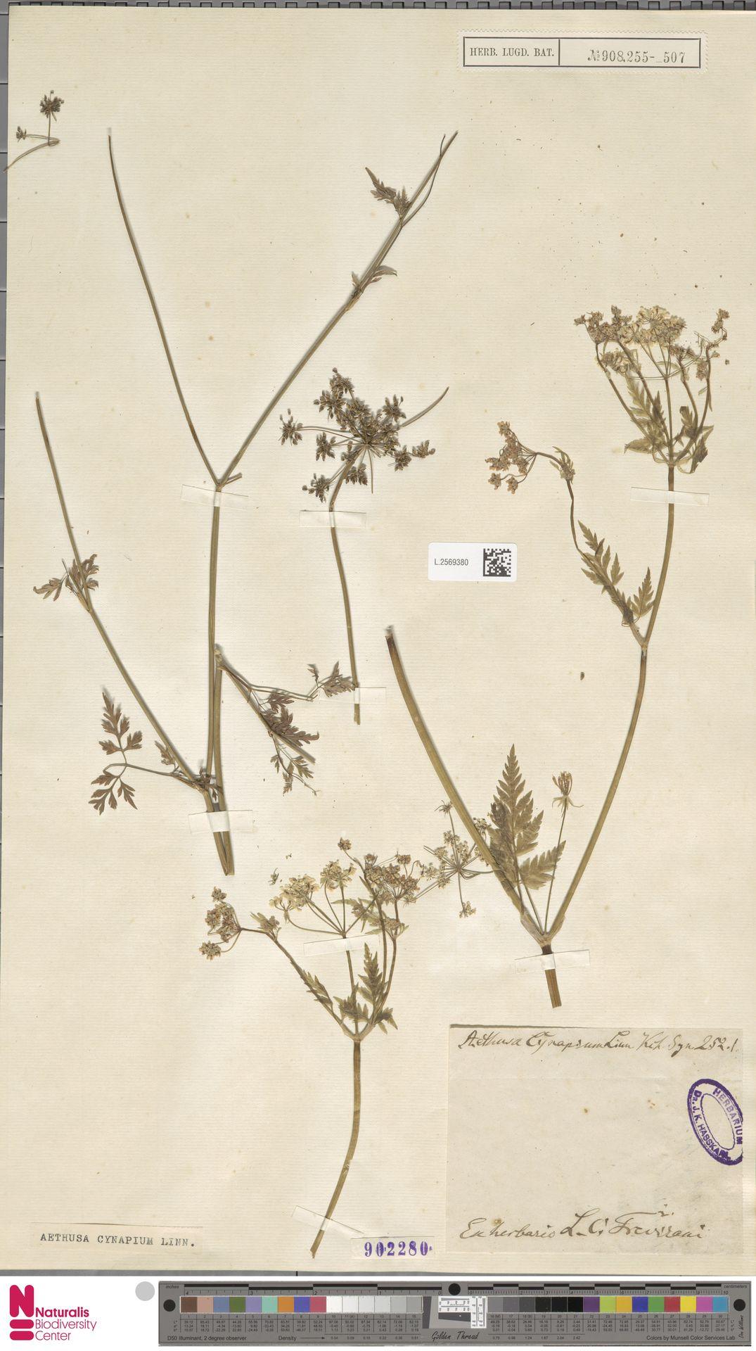 L.2569380 | Aethusa cynapium L.