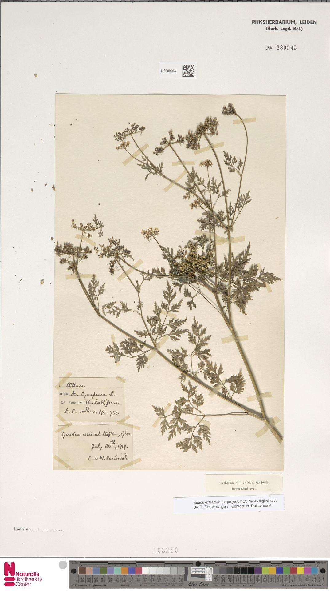 L.2569458 | Aethusa cynapium L.