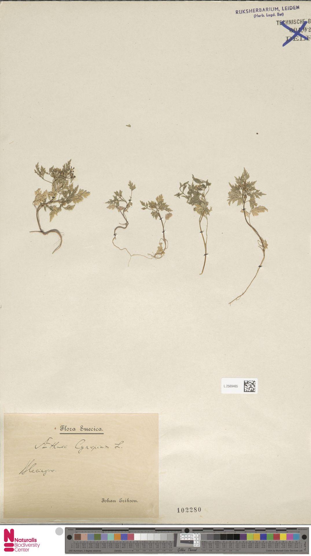 L.2569465 | Aethusa cynapium L.